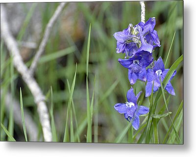 Low Larkspur In Yellowstone National Park Metal Print by Bruce Gourley