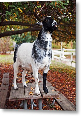 Lunch With Goat Metal Print by Rona Black