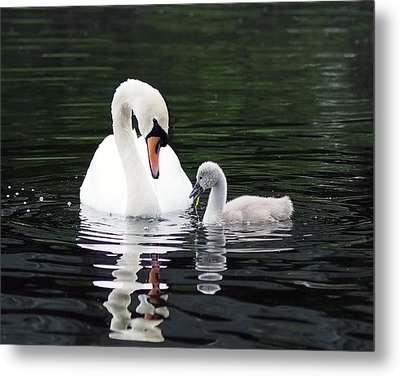 Lunchtime For Swan And Cygnet Metal Print by Rona Black