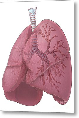 Lungs And Bronchi Metal Print by Evan Oto