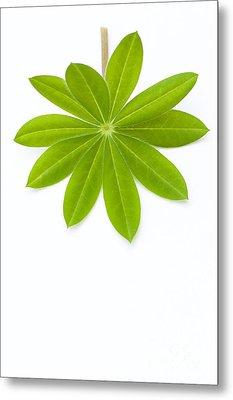 Lupin Leaf Metal Print by Anne Gilbert