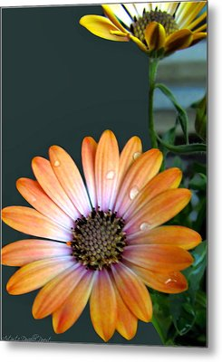 Macro Orange And Yellow Daisies With Water Droplets Metal Print by Danielle  Parent