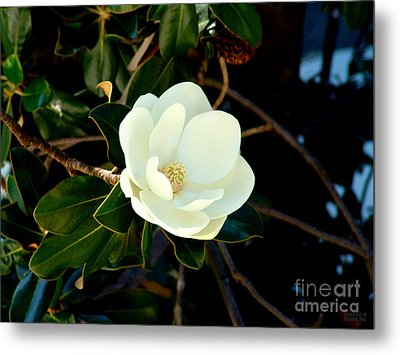 Magnolia Grandiflora Metal Print by Hanza Turgul