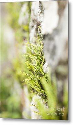 Maiden-hair Spleenwort Metal Print by Anne Gilbert