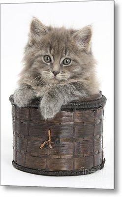 Maine Coon Kitten, Basket Metal Print by Mark Taylor