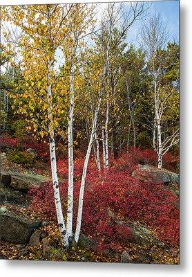 Maine's Acadia National Park White Birch Tree Photo Metal Print by Bill Swindaman