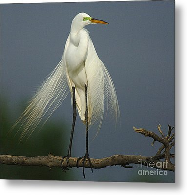 Majestic Great Egret Metal Print by Bob Christopher