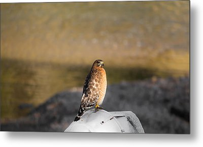Majestic Hawk 2 Metal Print by Shelby  Young