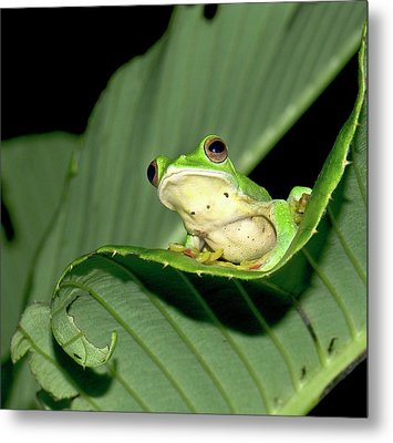 Malabar Gliding Frog Metal Print by K Jayaram