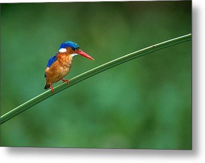 Malachite Kingfisher Tanzania Africa Metal Print by Panoramic Images