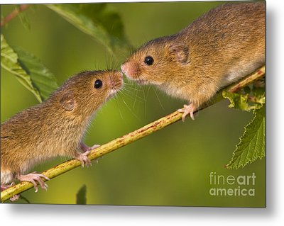 Male And Female Harvest Mice Metal Print by Jean-Louis Klein and Marie-Luce Hubert