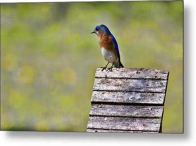Male Eastern Bluebird Metal Print by Lana Trussell