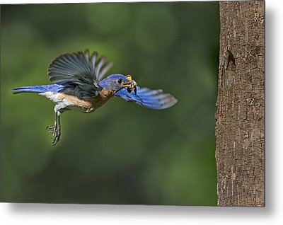 Male Eastern Bluebird Metal Print by Susan Candelario