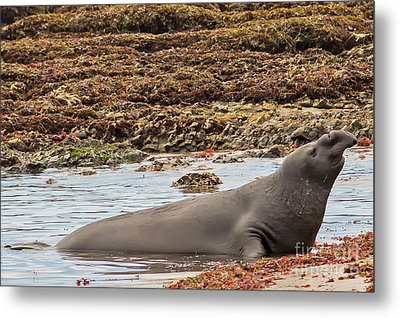 Male Elephant Seal In Ano Nuevo California State Park Metal Print by Natural Focal Point Photography