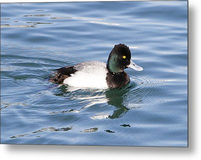 Male Lesser Scaup Metal Print by Shoal Hollingsworth