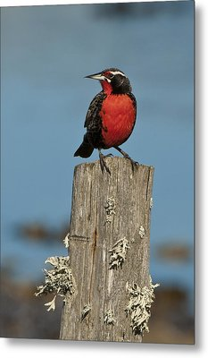 Male Long-tailed Meadowlark On Fencepost Metal Print by John Shaw