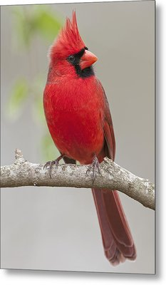 Male Northern Cardinal In January Metal Print by Bonnie Barry