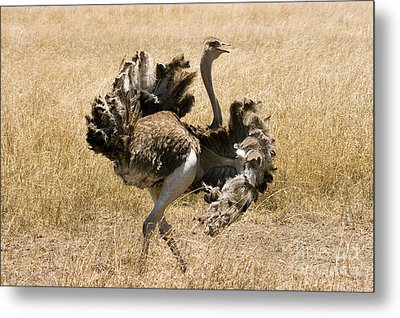 Male Ostrich Performing Distraction Metal Print by Gregory G Dimijian MD