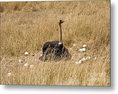 Male Ostrich Sitting On Communal Eggs Metal Print by Gregory G. Dimijian, M.D.