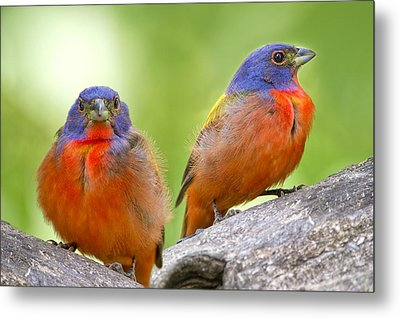 Male Painting Buntings Metal Print by Bonnie Barry