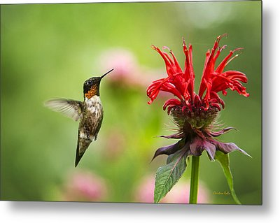 Male Ruby-throated Hummingbird Hovering Near Flowers Metal Print by Christina Rollo