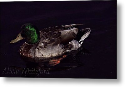 Mallard 2 Metal Print by Alicia Whiteford