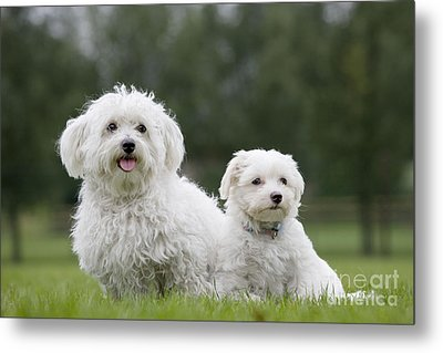 Maltese Dog With Puppy Metal Print by Johan De Meester