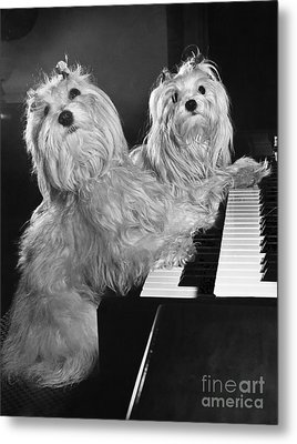 Maltese Pups Metal Print by M. E. Browning