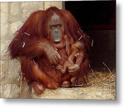 Mama N Baby Orangutan - 54 Metal Print by Gary Gingrich Galleries
