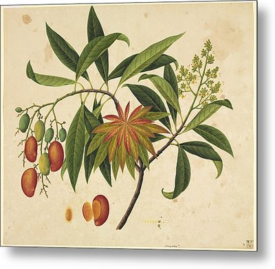 Mangifera Indica, 19th-century Artwork Metal Print by Science Photo Library