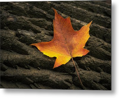 Maple Leaf Metal Print by Scott Norris