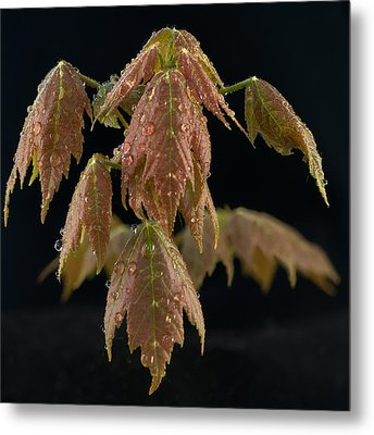 Maple Leaves With Water Drops Metal Print by Paul Freidlund