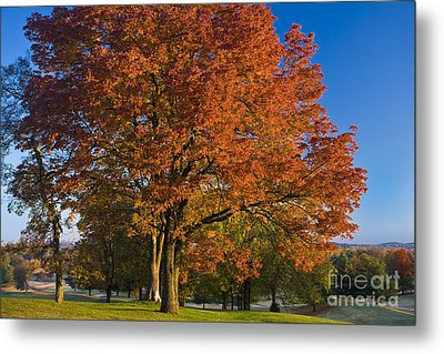 Maple Trees Metal Print by Brian Jannsen