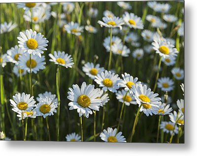 Marguerite _leucanthemum__ Black Metal Print by Carl Bruemmer
