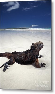 Marine Iguana Metal Print by Mark Newman