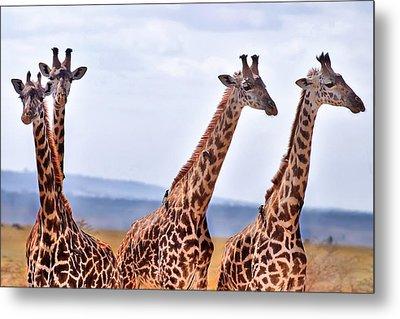 Masai Giraffe Metal Print by Adam Romanowicz