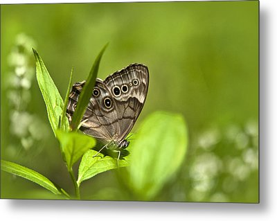 Meadow Butterfly Metal Print by Christina Rollo