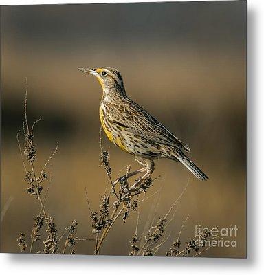 Meadowlark On Weed Metal Print by Robert Frederick