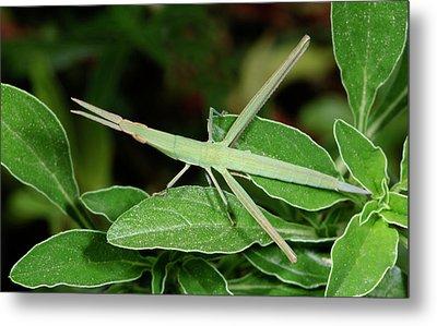 Mediterranean Slant-faced Grasshopper Metal Print by Nigel Downer