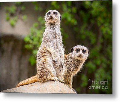 Meerkat Pair Metal Print by Jamie Pham