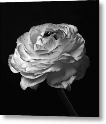 Black And White Roses Flowers Art Work Macro Photography Metal Print by Artecco Fine Art Photography
