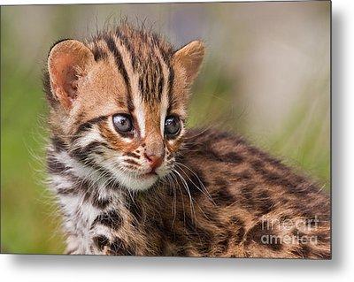 Miniature Leopard Metal Print by Ashley Vincent