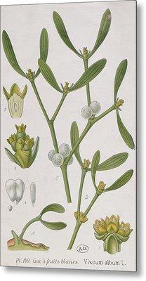 Mistletoe Metal Print by Elizabeth Blackwell