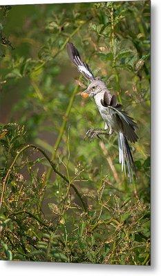 Mockingbird Metal Print by Bill Wakeley