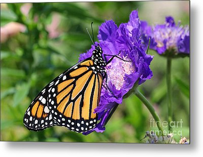 Monarch And Pincushion Flower Metal Print by Steve Augustin