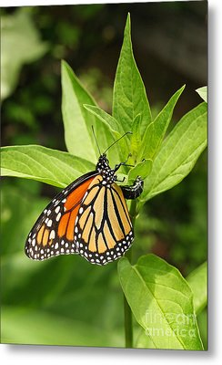 Monarch Egg Time Metal Print by Steve Augustin