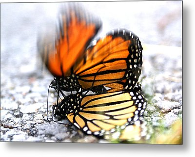Monarchs In Love Metal Print by Thomas Bomstad