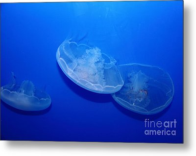 Moon Jelly Fish 5d24936 Metal Print by Wingsdomain Art and Photography