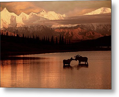 Moose Kissing In Wonder Lake Denali Np Metal Print by Ron Sanford