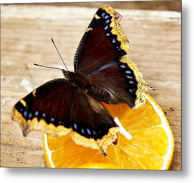 Morning Cloak Butterfly Metal Print by Carol Toepke